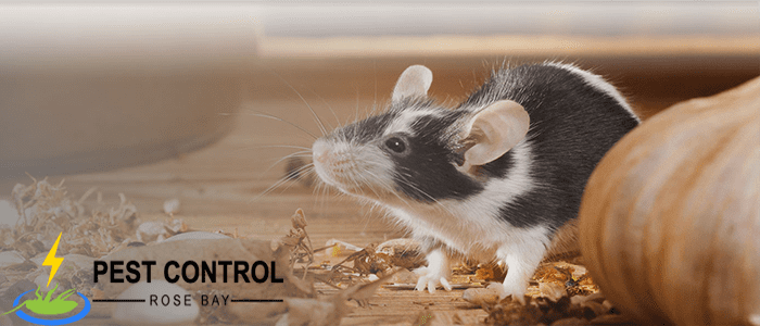 Rodent Control Rose Bay