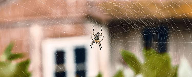 Spider Control Rose Bay